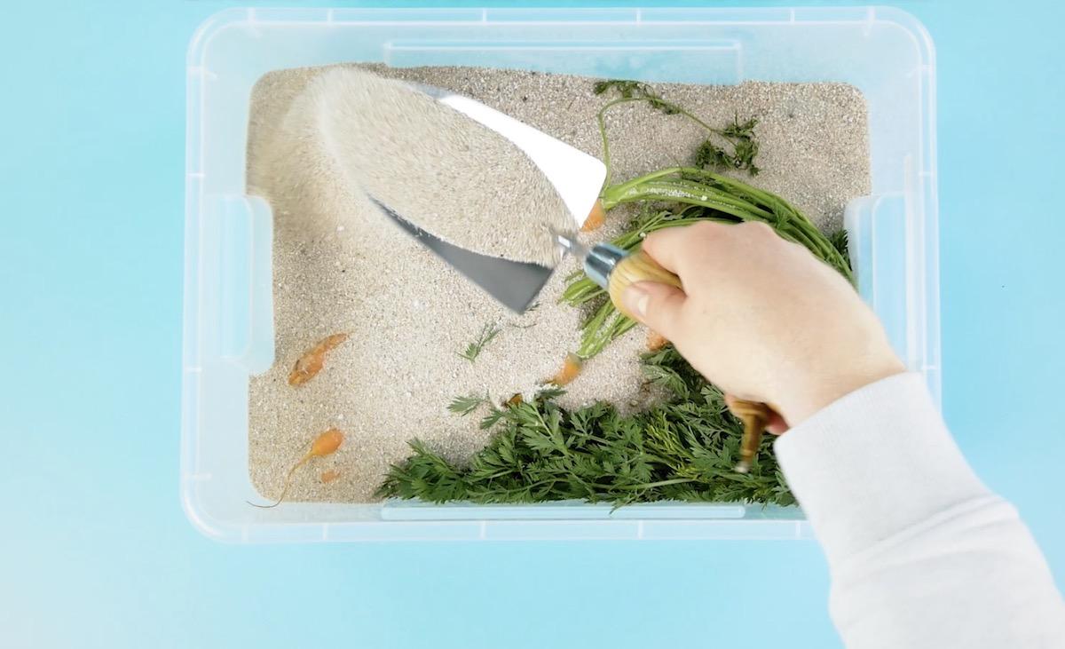 cenouras na areia