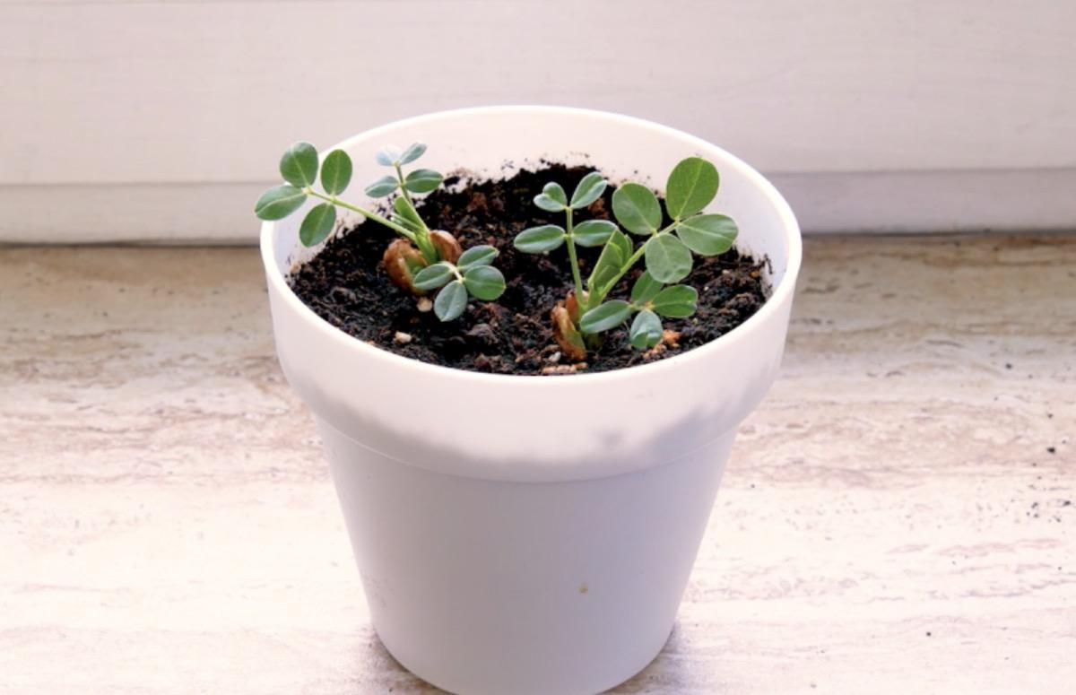 Cultivar vegetais no apartamento
