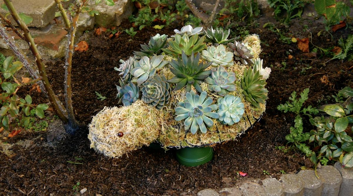 tartaruga de suculentas
