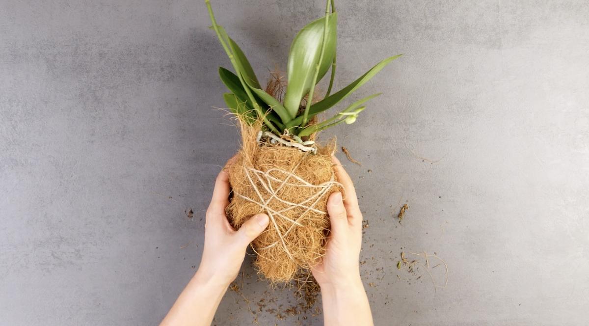 musgo e fibra de coco nas raízes da orquídea
