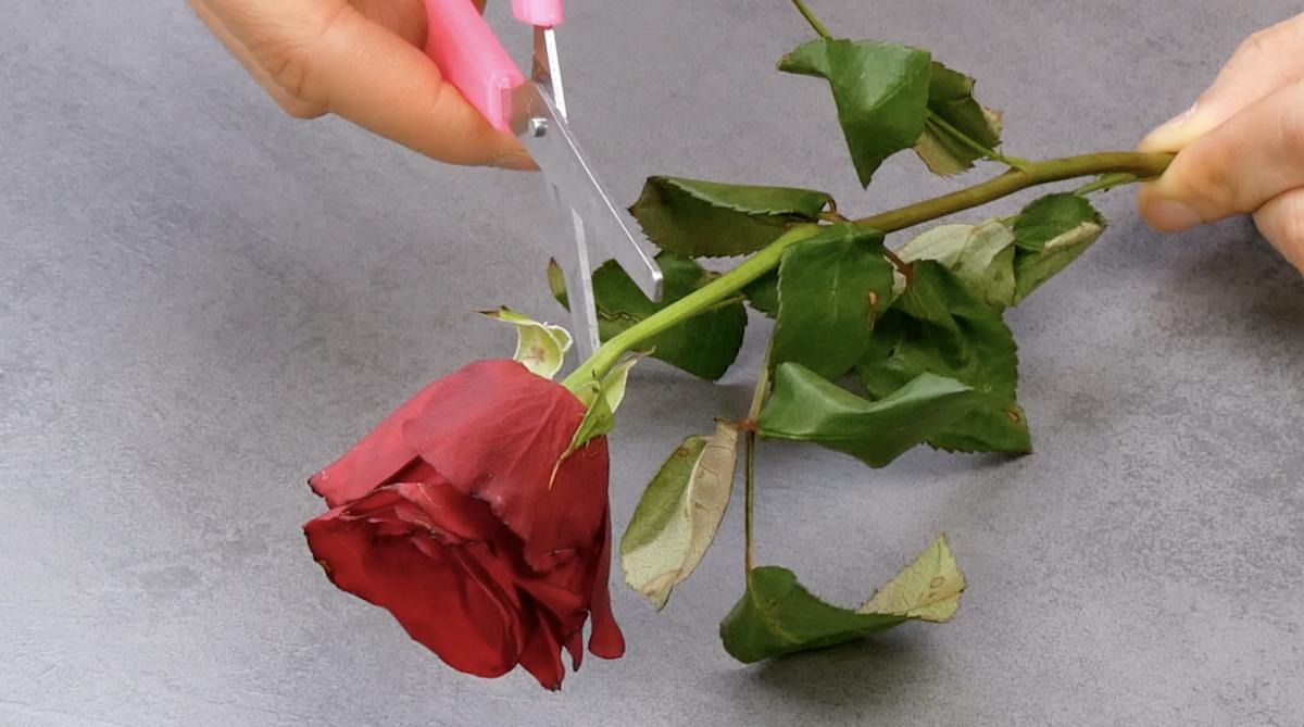 Corte a flor murcha e as folhas da rosa