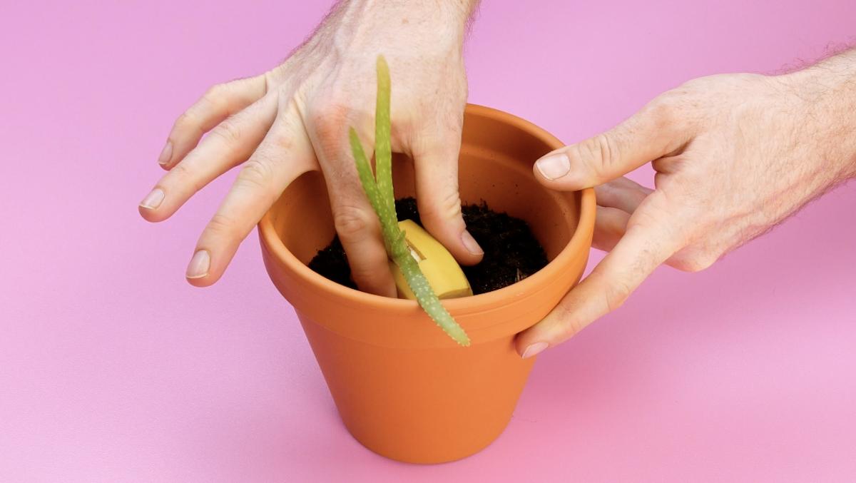 banana fertilizante
