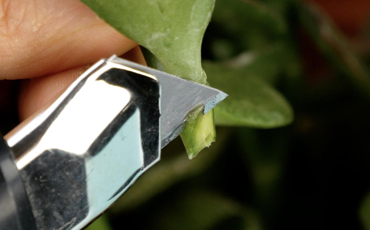 Corte o ponto de ruptura da folha criando uma ponta.