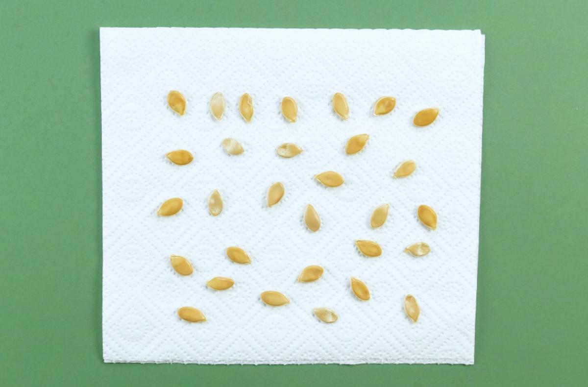 seque as sementes em um pedaço de papel toalha