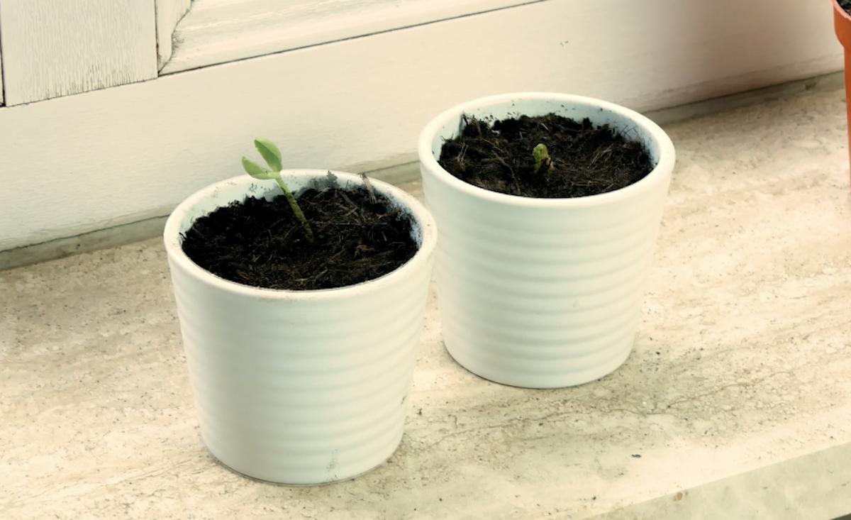 plante em potes com terra para germinar